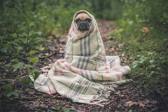 pug-dog-in-a-blanket